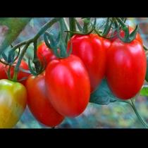 自家農園のトマト