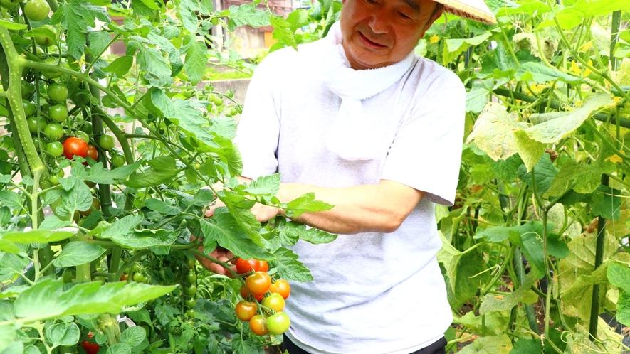 自家農園のトマトを収穫