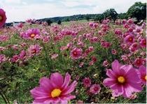 多種多彩なコスモスの花畑は可憐で清楚な雰囲気に包まれます。