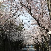 *ソメイヨシノ/伊豆高原桜並木沿い。