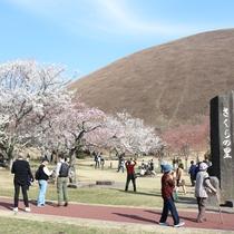 *大室山・桜の里/春の訪れを感じる瞬間。