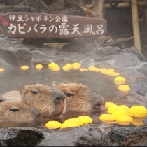 *【伊豆シャボテン公園 カピバラの露天風呂(一例)】期間限定でゆず湯も開催!