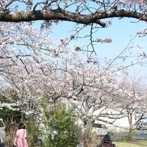 *ソメイヨシノ/伊豆高原桜並木入り口付近。