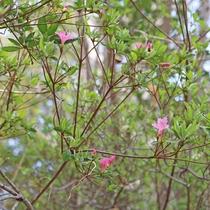 【2018年4月2日】当館敷地内の「ツツジ」が、咲き始めました!
