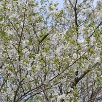 【2018年4月2日】当館前の道路沿いの「大島桜」が満開です!
