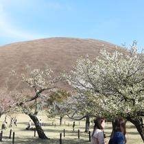*大室山・桜の里/これから満開をむかえます!