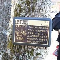 *大室山・桜の里/枝垂桜の説明文。