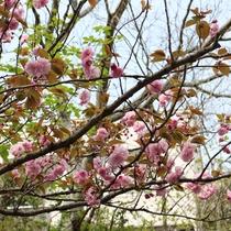 【2018年4月2日】当館前道路沿いの「八重桜」が6~7部咲きです!