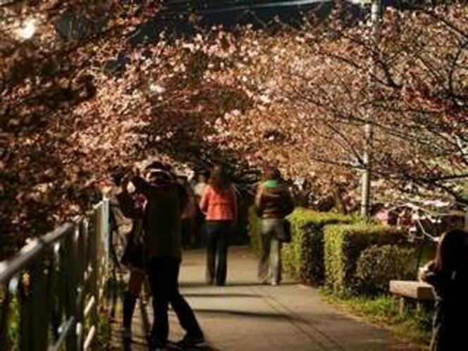 河津桜の夜桜