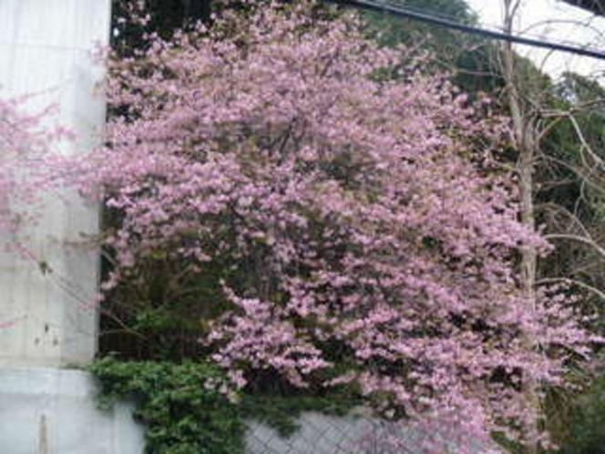青木の坂前の、河津桜