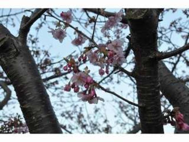 河津桜 2013.2.27撮影