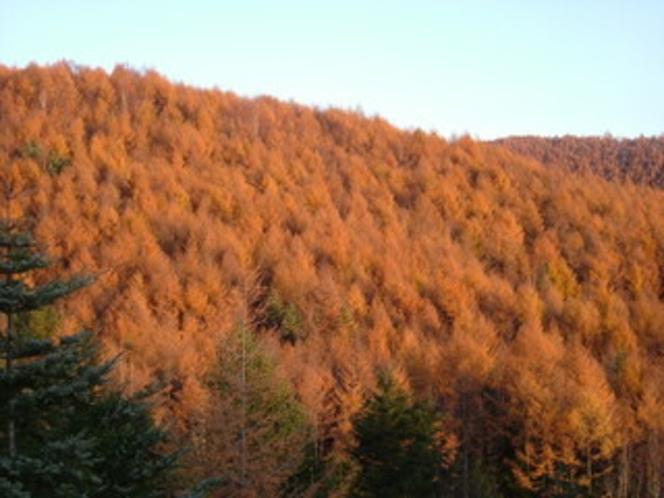 黄金に輝く晩秋の唐松林