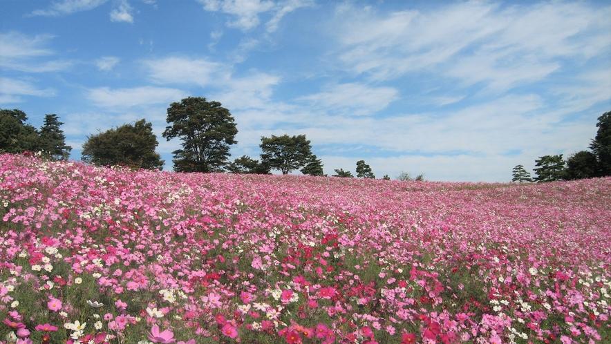 昭和記念公園_コスモスの丘