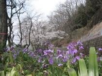 2011.04.11 だいこん花と桜