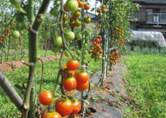 直営農場 ミニトマト