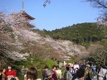 清水寺-三重の塔桜
