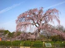 円山公園-しだれ桜中央