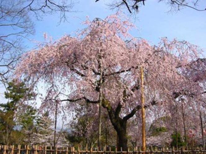 円山公園-しだれ桜奥