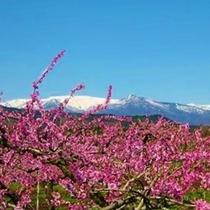 春の蔵王連峰:桃の花が綺麗です♪