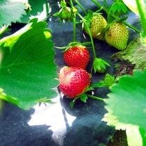 天然露地栽培 いちご食べ放題