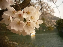北竜湖と桜
