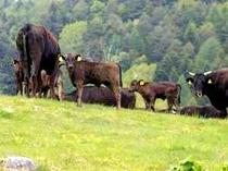 【山田牧場】牛のとある日