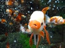 金魚「たらこ」