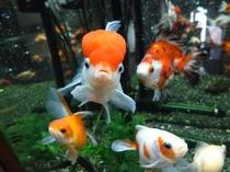 金魚「赤デコ」