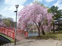 湯沢中央公園桜2