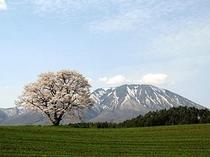 小岩井一本桜