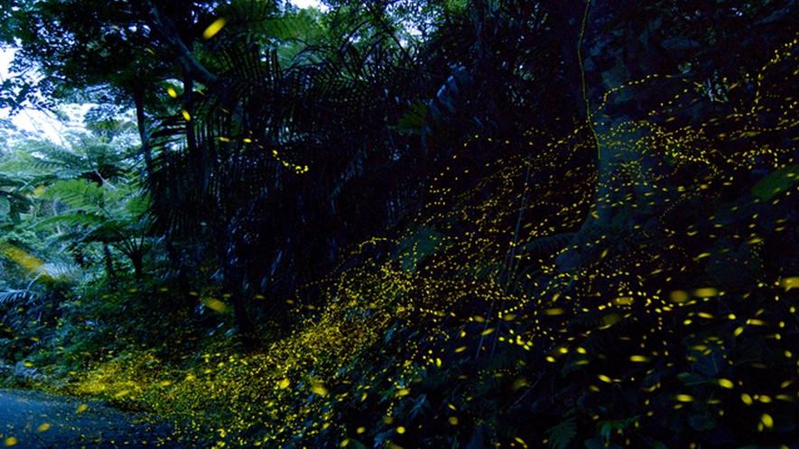 【季節】ヤエヤマヒメボタル:毎年5月頃には日没のわずかな時間に日本最小ホタルが見られます