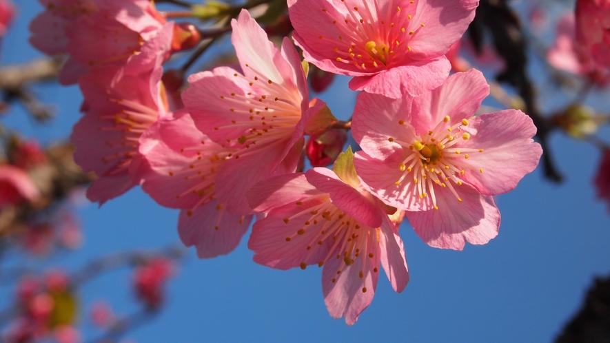 【季節】カンヒザクラ:毎年2月が見頃の沖縄の桜