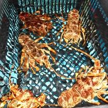 和食処の生簀:漁師から直仕入れしている新鮮な海の幸