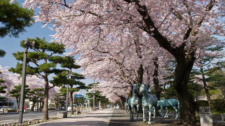 【十和田市官庁街通り(駒街道)の桜並木】 車で約50分 「日本の道100選」にも選ばれています。