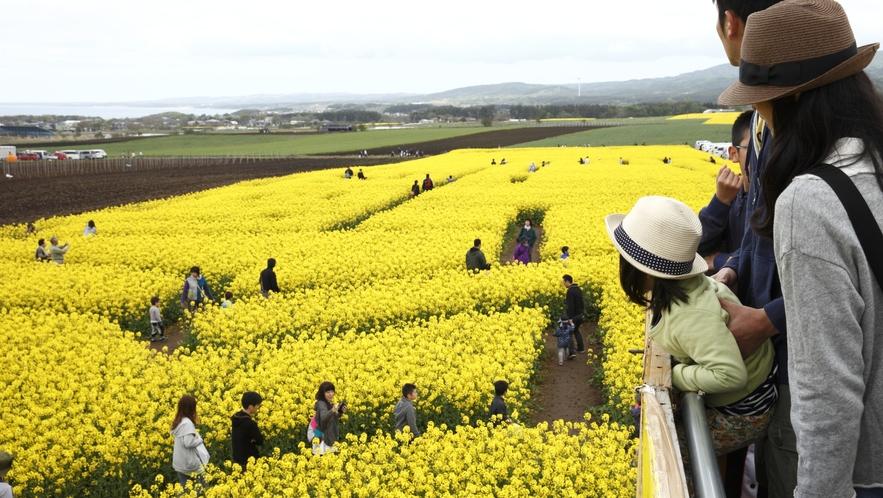 【横浜町「菜の花フェスティバル」】 車で約1時間30分 毎年5月に開催され、菜の花迷路が人気です。