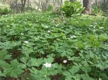ニリンソウの花畑