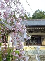 長谷寺のシダレサクラ