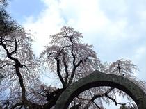 真田 長谷寺の桜