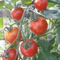 【自家農園】トマト-ルイ-