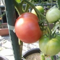 【自家農園】トマト-ももたろう-