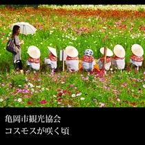 ▲亀岡市観光協会 コスモスが咲く頃