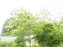 あかしやの樹