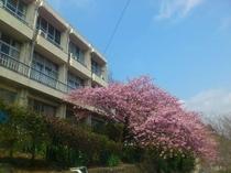 2,3月頃になると窓から河津桜をご覧いただけます。