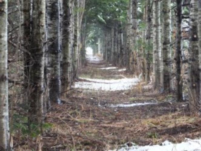 田園 ☆松の回廊(歩)  pine corrdoir
