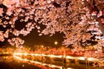 上越高田公園の夜桜