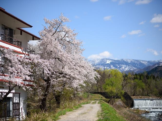 雄飛館の桜並木