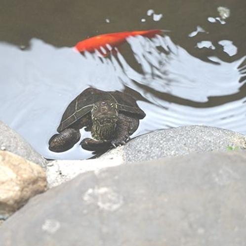 亀は万年!本物の「亀」さんもいます。