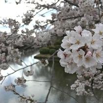 上杉公園の桜