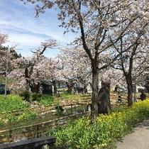 小野川温泉の桜