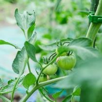 日高の豊かな食材たち【トマト】